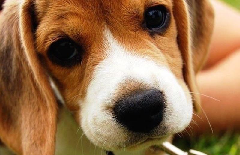 Download Super Cute Beagle Adorable Dog - adorable-animals-curious-beagle-puppy_600_800  Photograph_1002523  .jpg